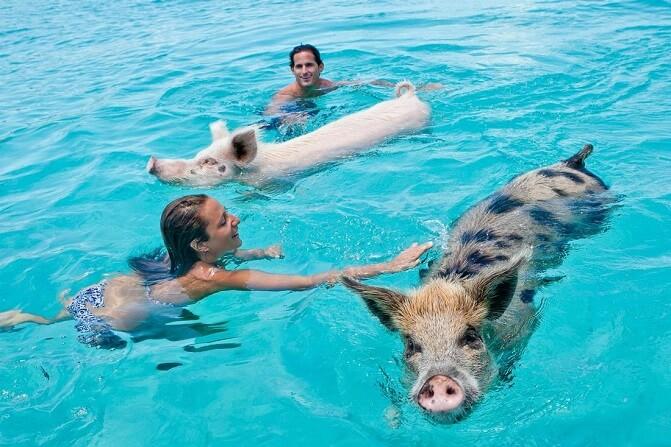 Swim And Splash Pigs In Bahamas